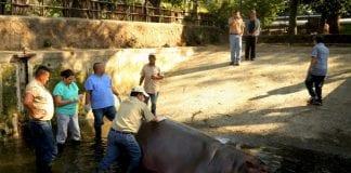 Mataron al único hipopótamo de El Salvador