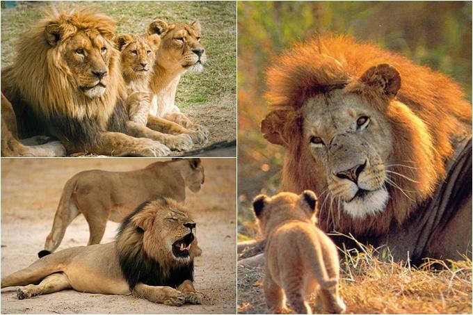 ¡Majestuosas criaturas! Hoy se celebra el Día Mundial del León