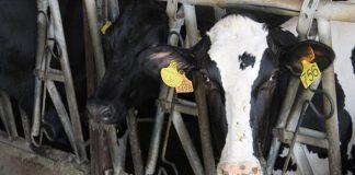 enfermedad vacas locas