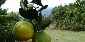 productores-de-naranja