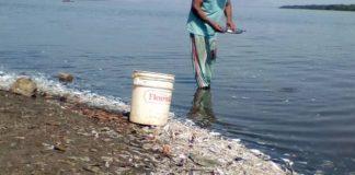 mueren grandes cantidades de peces - Noticias 24 Carabobo