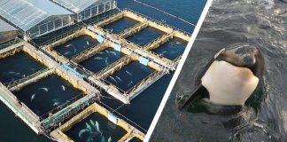 Liberación de las orcas-N24C