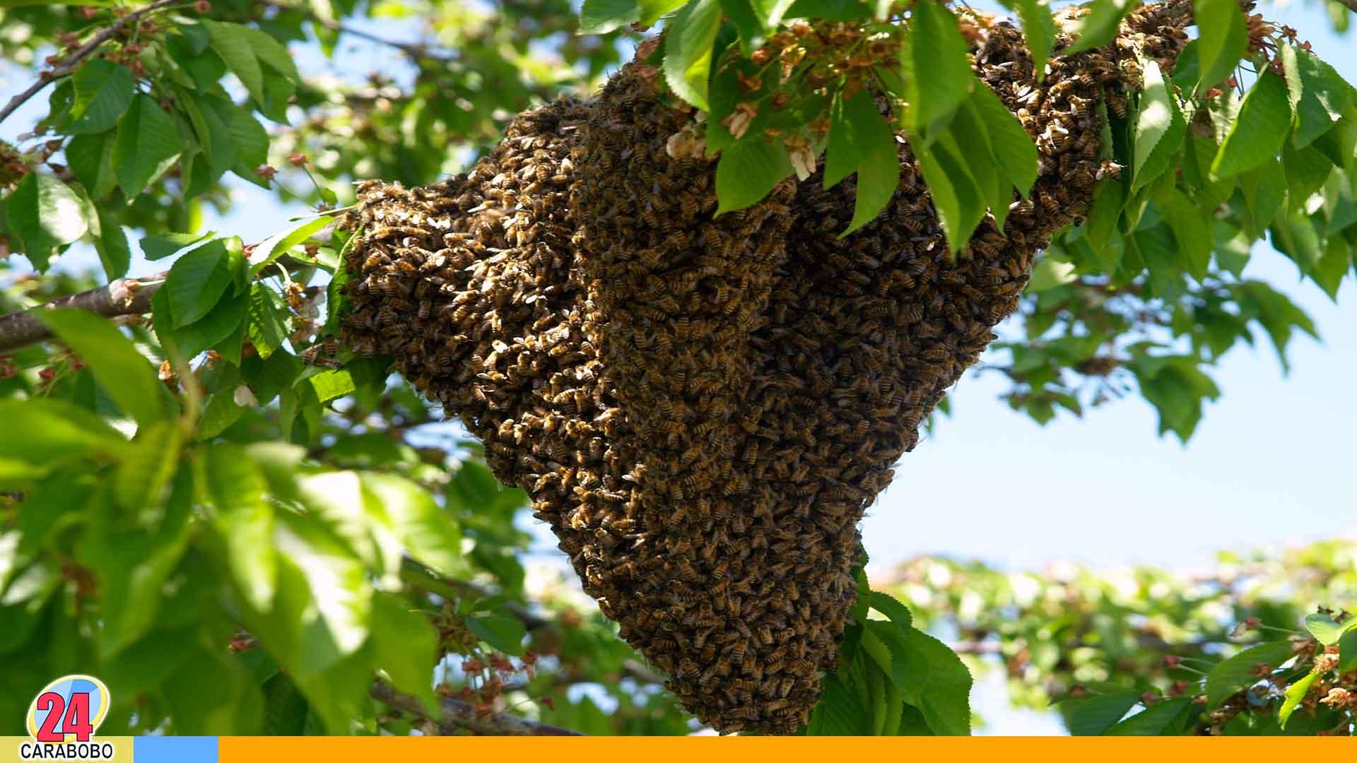 Noticias 24 Carabobo - Ataque de abejas en vigirima