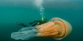 Noticias 24 Carabobo - Medusa gigantes