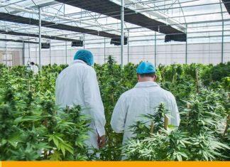 """Italia legaliza el cannabis """"light"""" - Noticias 24 Carabobo"""