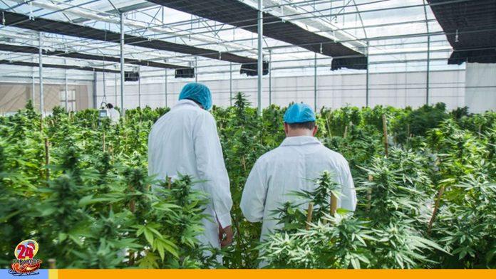 Italia legaliza el cannabis
