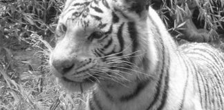 Falleció tigre de bengala en Zoológico de Barquisimeto