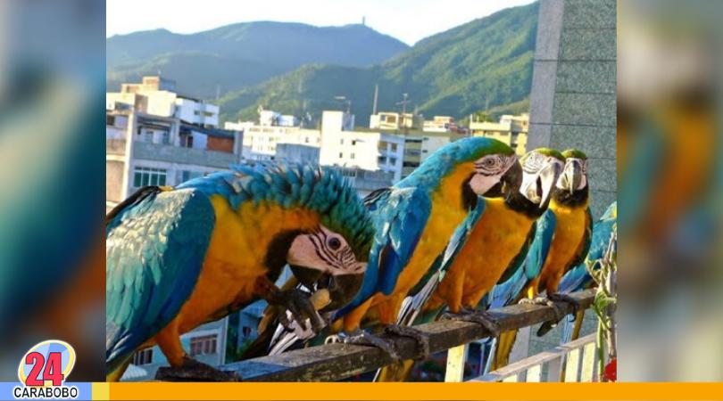 Guacamayas en Caracas - Guacamayas en Caracas