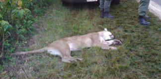 Asesinó a un puma en Puerto Cabello - Asesinó a un puma en Puerto Cabello