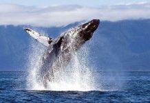 Ballenas jorobadas - Ballenas jorobadas