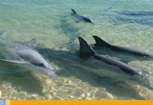 delfines en Pampatar