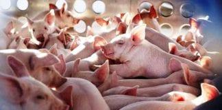 Nueva cepa de gripe porcina - noticias24 Carabobo