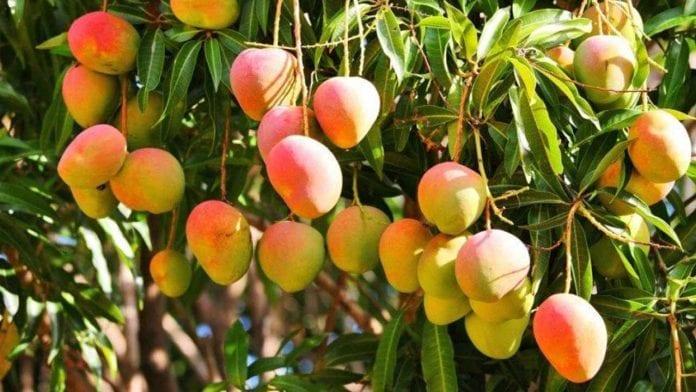 Disfruta el mango - Disfruta el mango