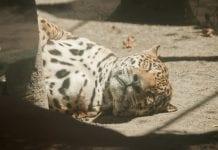 Jaguar en Barinas - Jaguar en Barinas