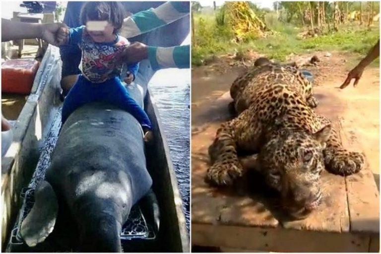 Detenidos en Zulia por matar a oso hormiguero