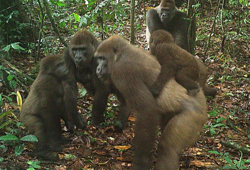 Bebés de gorilas orientales del río Cross - noticias24 Carabobo