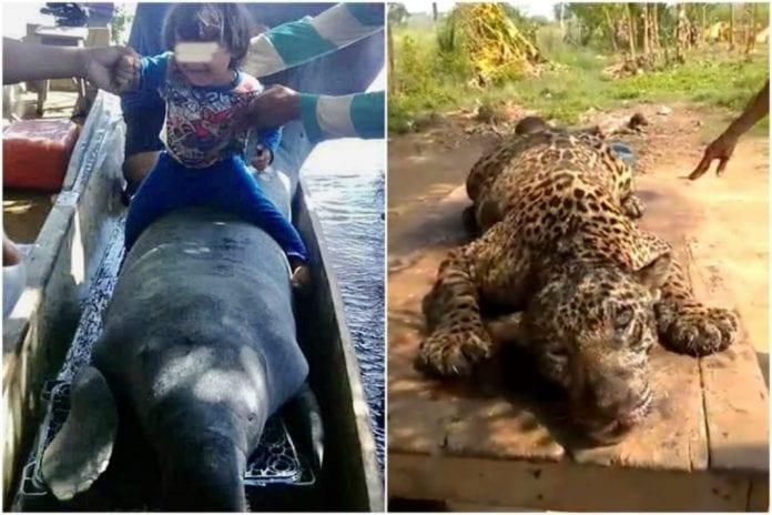 jaguar en el Zulia - jaguar en el Zulia