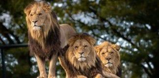 Excremento de leones - Noticias24Carabobo