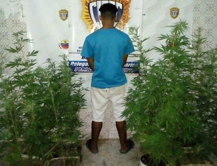 Plantas de marihuana en Guárico - Plantas de marihuana en Guárico