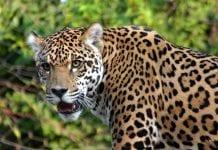 jaguares en Barinas - jaguares en Barinas