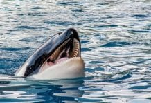 Las orcas - Noticias24Carabobo