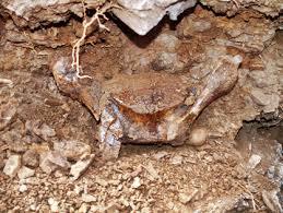 Fósil de murciélago gigante - Fósil de murciélago gigante