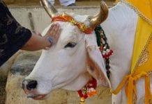 El toro de la India - El toro de la India