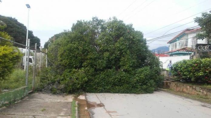 Árbol caído en El Rincón - Árbol caído en El Rincón