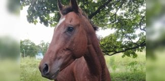 Caballo de la UCV de Maracay – caballo de la UCV de Maracay