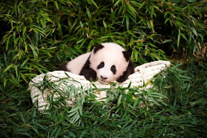 panda nacida corea sur