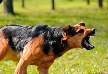 4 razas de perros más peligrosas - 4 razas de perros más peligrosas