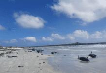 ballenas muertas en Nueva Zelanda