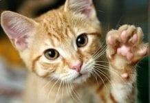 gato maullido - gato maullido
