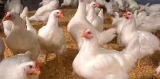 Dinamarca sacrificará 25.000 pollos gripe aviar