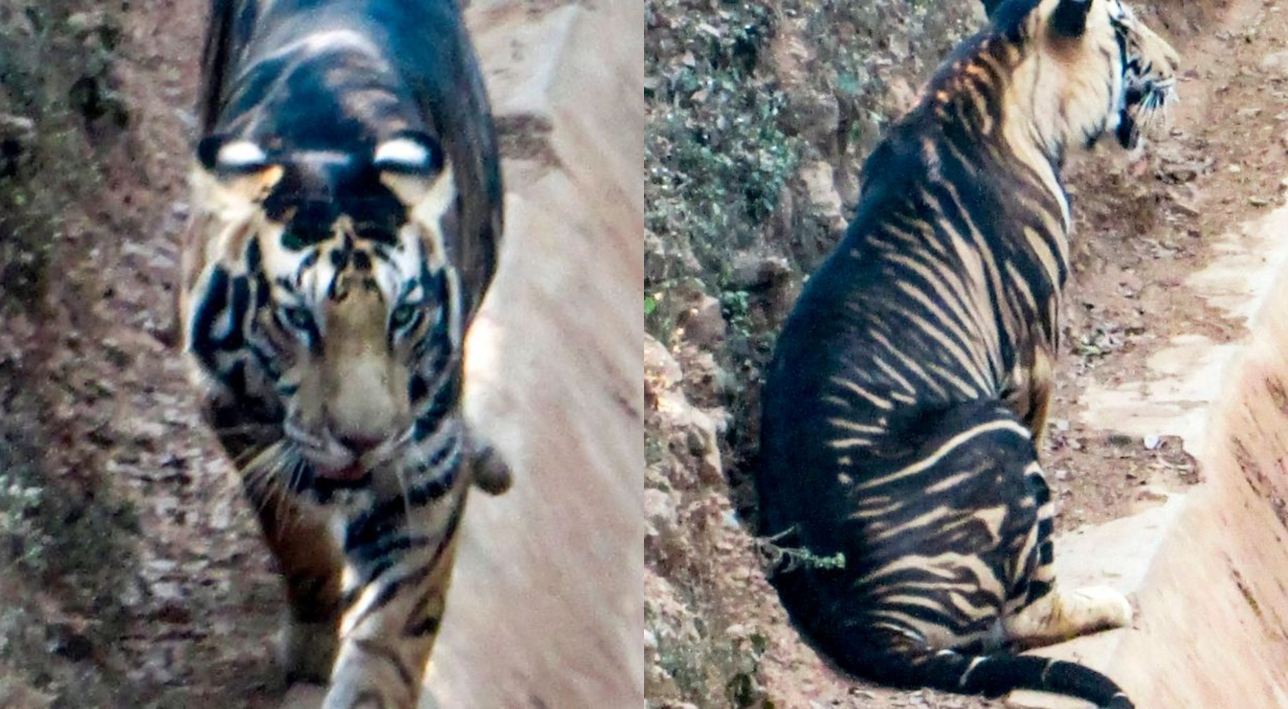 tigre negro - tigre negro