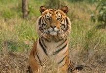 niña falleció tras el ataque de un tigre