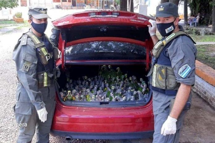 Contrabando de loros en Argentina - Contrabando de loros en Argentina