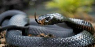 serpiente como mascota - serpiente como mascota