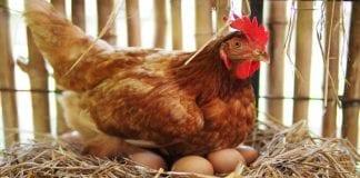 Cría de gallinas - Cría de gallinas