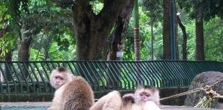 Escaparon los monos del Zoológico de Las Delicias - Escaparon los monos del Zoológico de Las Delicias