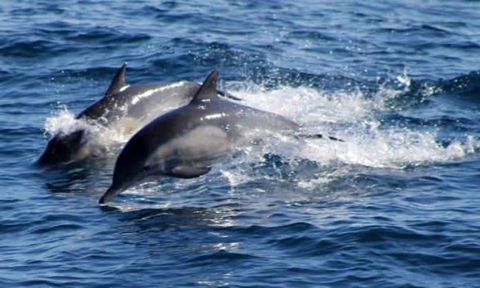 Falso video de delfines río Guaire - Falso video de delfines río Guaire