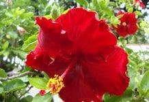 flor de Cayena - flor de Cayena