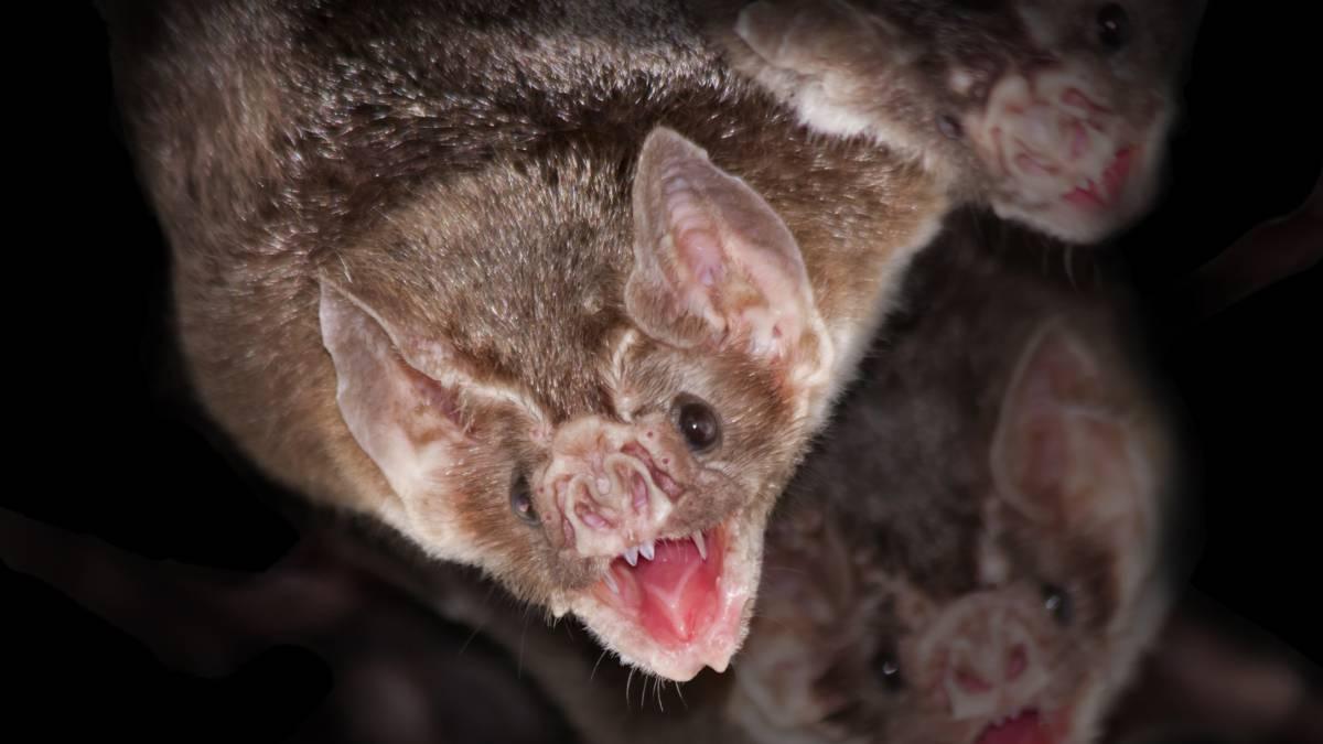 Murciélagos de Tailandia - Murciélagos de Tailandia
