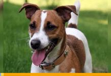 Un perro como mascota - Un perro como mascota