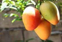 Beneficios del mango - Beneficios del mango
