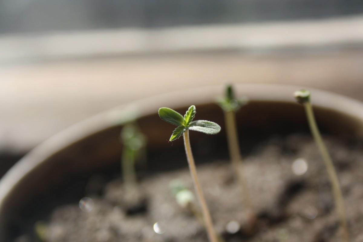 Consejos de cultivo de cannabis - 2
