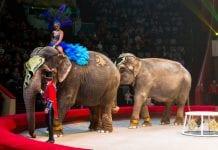Dos elefantes pelearon circo de Rusia - Dos elefantes pelearon circo de Rusia