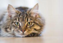 Detuvieron a un gato con droga panamá