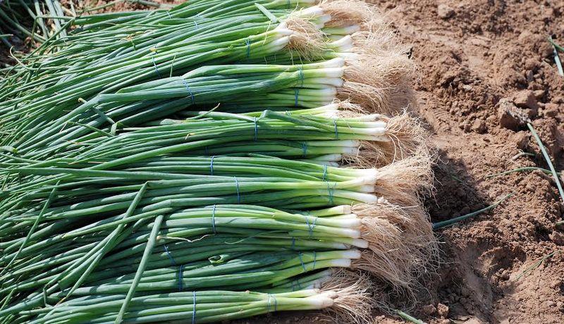 Propiedades del cebollín - Propiedades del cebollín