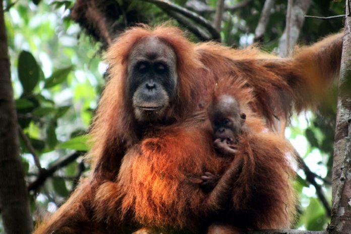 El orangután de Tapanuli extinguirse - El orangután de Tapanuli extinguirse